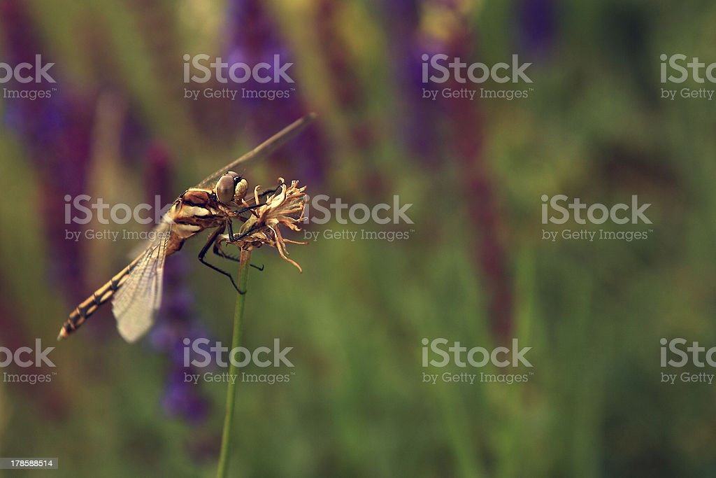 Dragonfly on flower. royalty-free stock photo