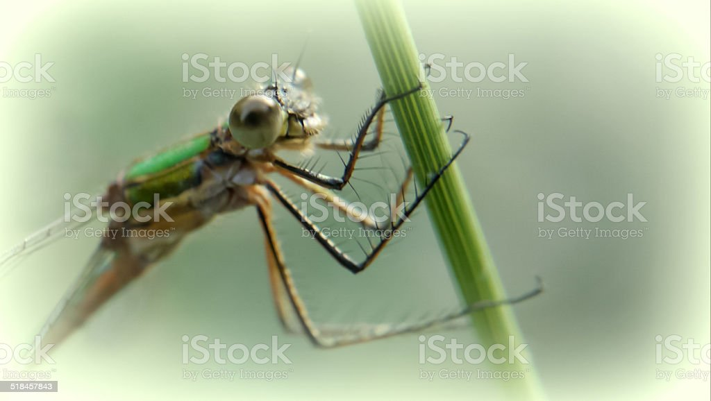 dragonfly on grass royalty-free stock photo