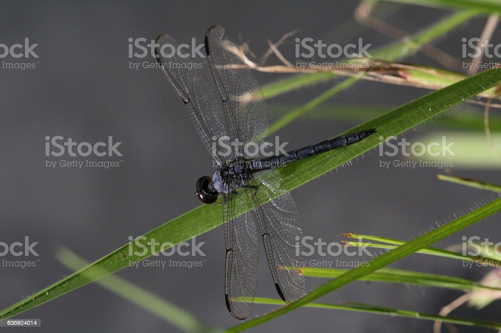 Dragonfly on Grass stock photo
