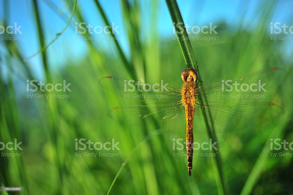 dragonfly on green grass royalty-free stock photo