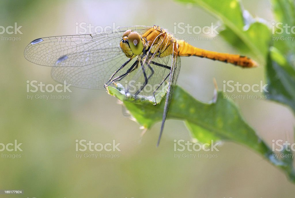 Dragonfly on leaf royalty-free stock photo