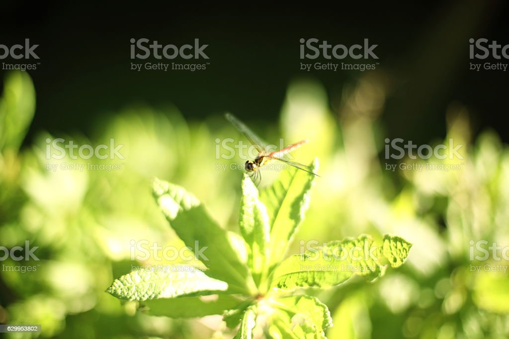 Dragonfly On Leaf stock photo