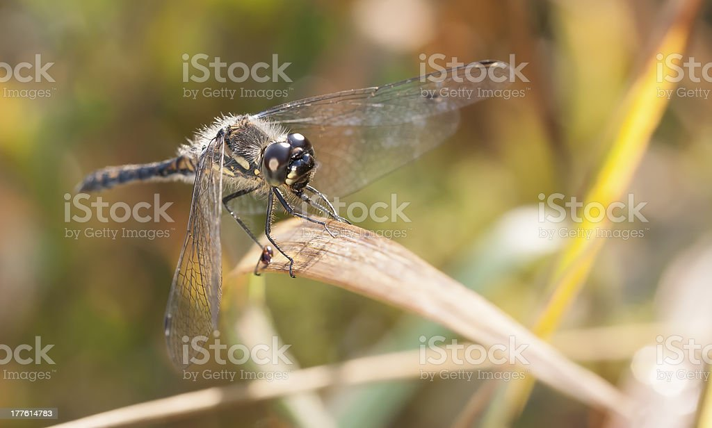 Dragonfly on plant straw royalty-free stock photo