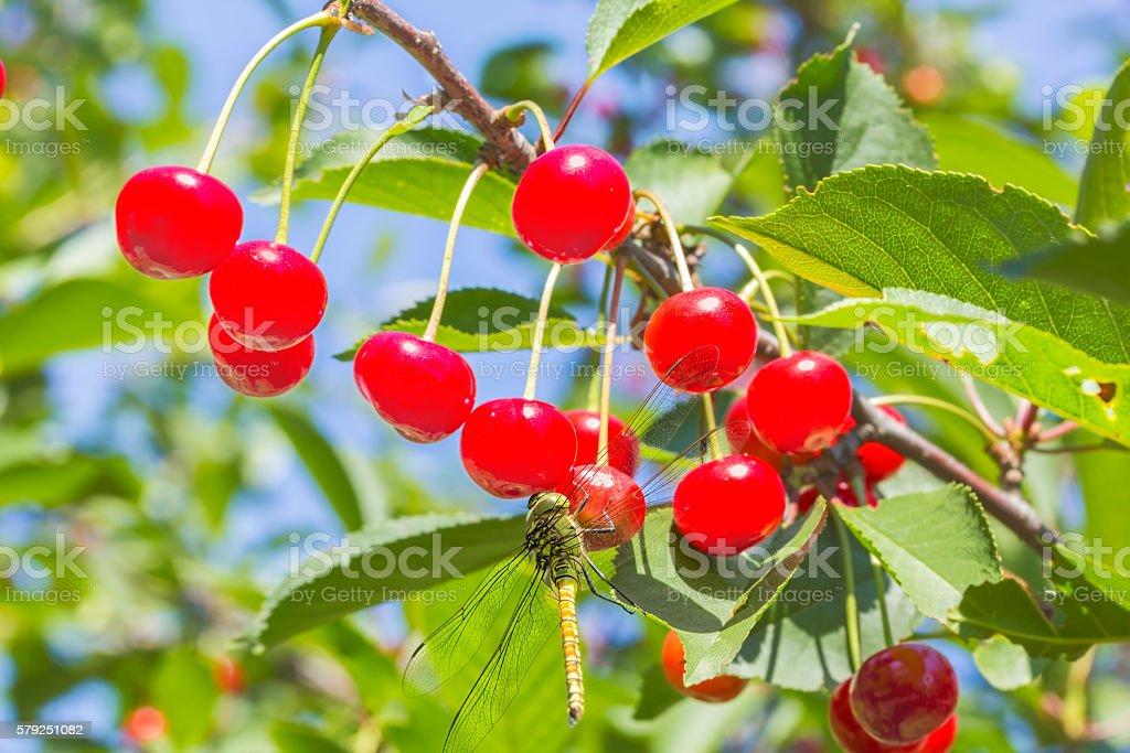 Dragonfly on red berries cherries, macro stock photo