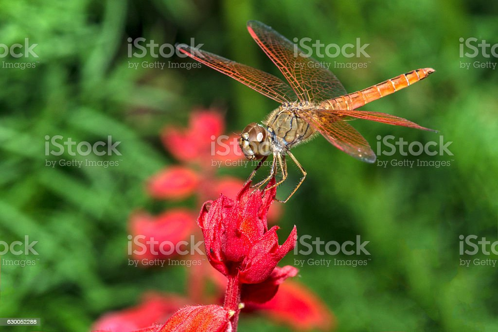 Dragonfly on red flower closeup stock photo
