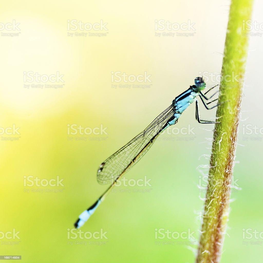 Dragonfly on Stem royalty-free stock photo