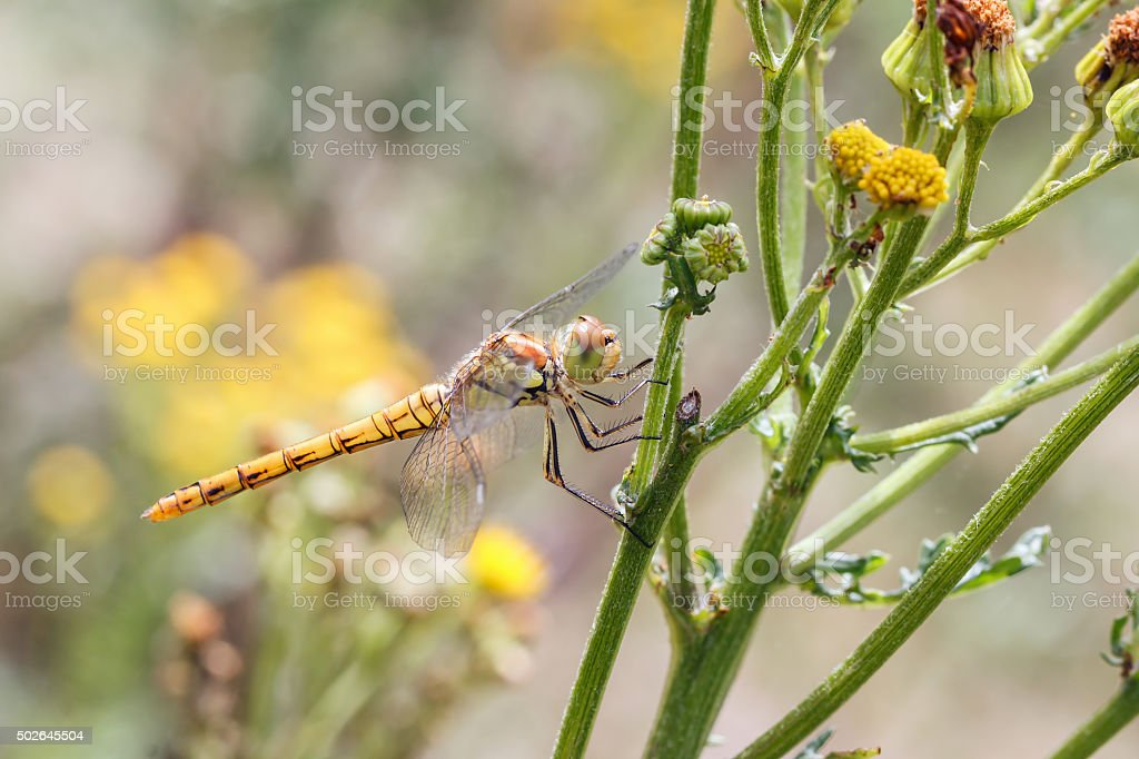 dragonfly on tansy stock photo