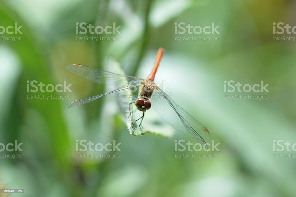 Dragonfly on the grass in the garden close up stock photo