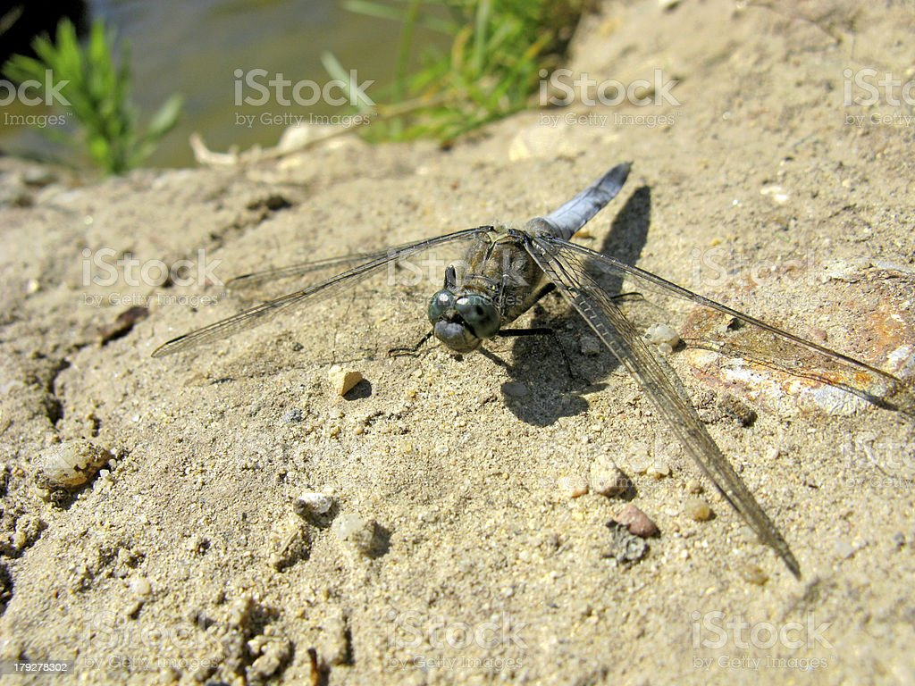 Dragonfly on the ground royalty-free stock photo