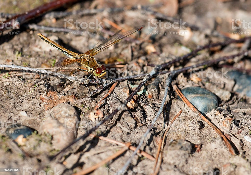 dragonfly on the ground stock photo