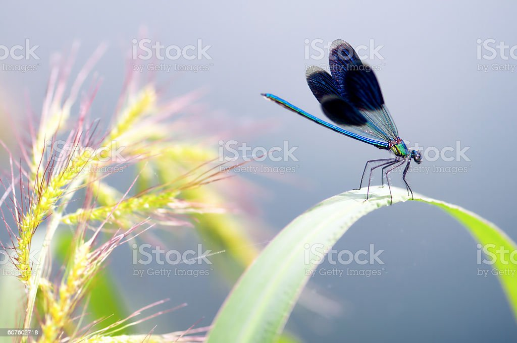 Dragonfly on the leaf, Dragonfly macro stock photo