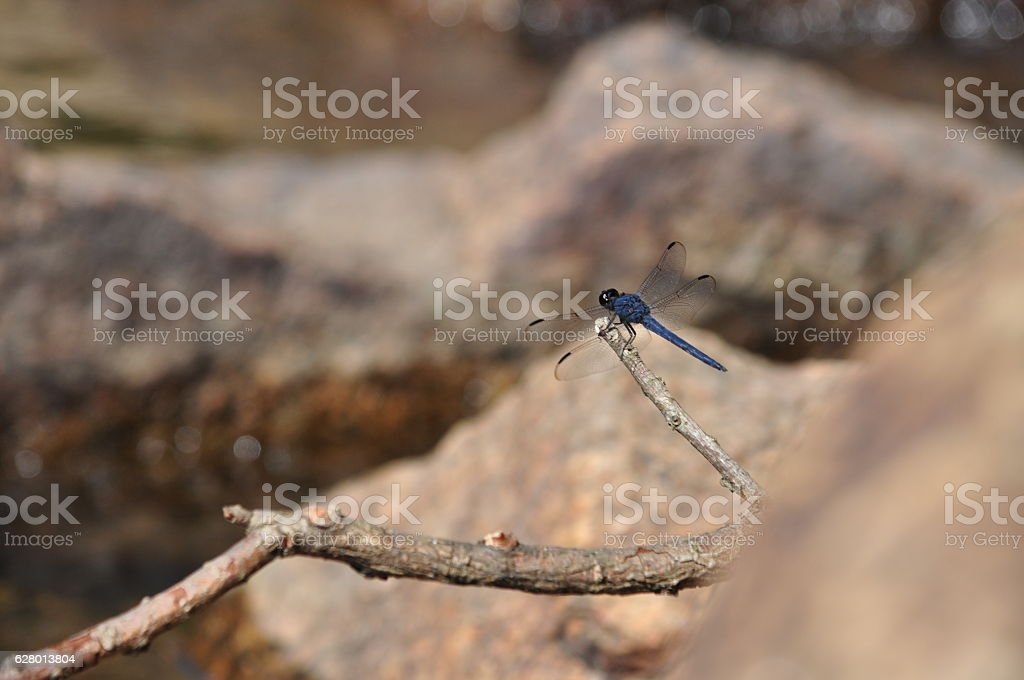Dragonfly on Tree Branch with Rocks and Lake in Background stock photo