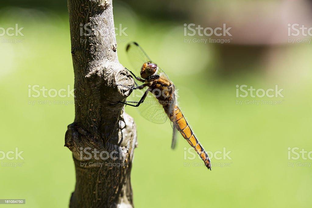 Dragonfly on tree stock photo