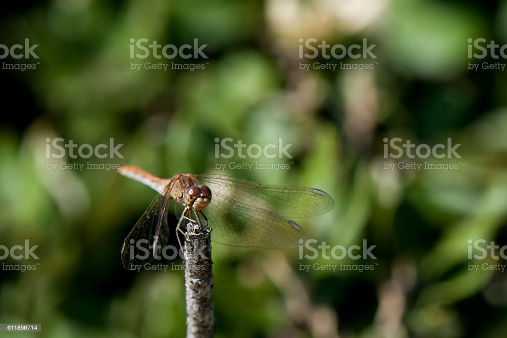 Dragonfly on twig stock photo