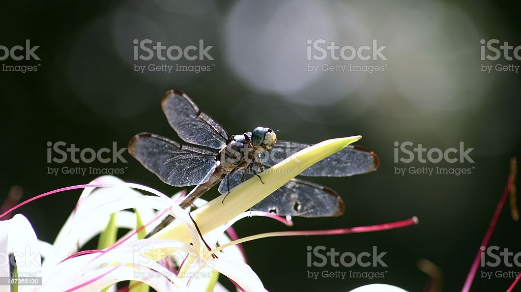 dragonfly on white flowering plant stock photo