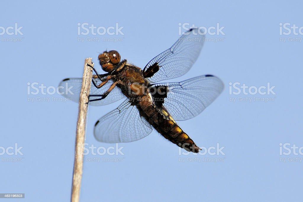 Dragonfly - orthetrum stock photo