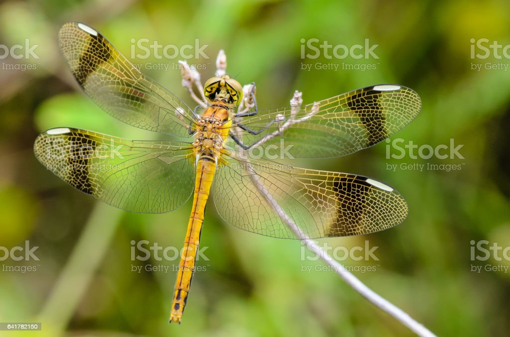 Dragonfly perched on a branch for rest stock photo