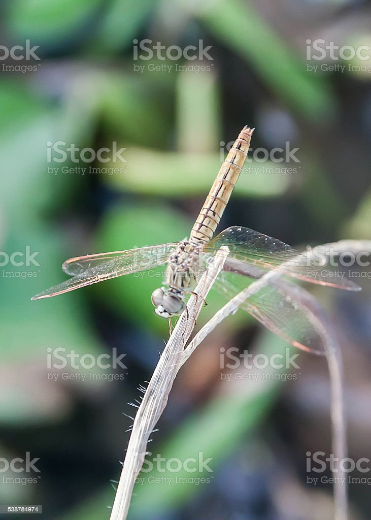 dragonfly perched on a twig stock photo