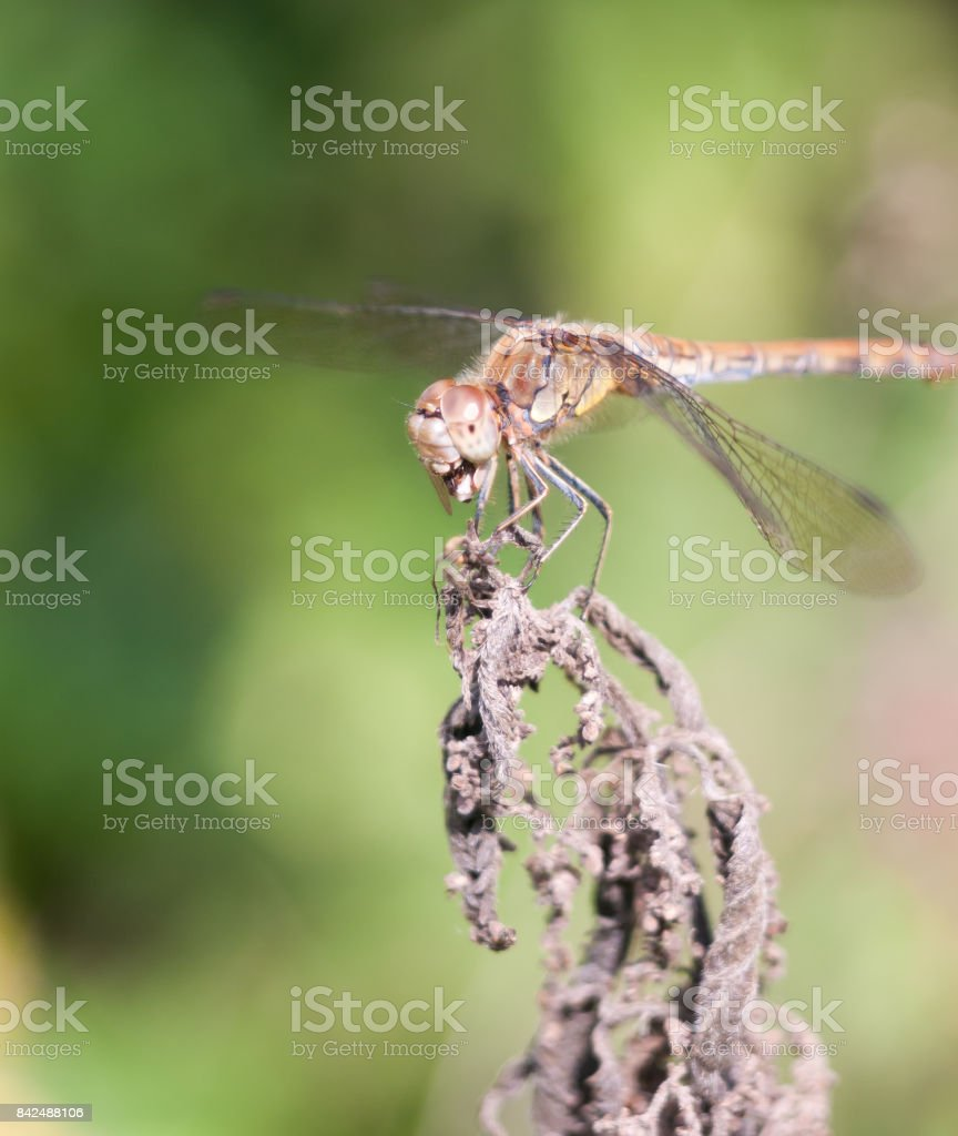 dragonfly perched on dead plant bokeh focus stock photo