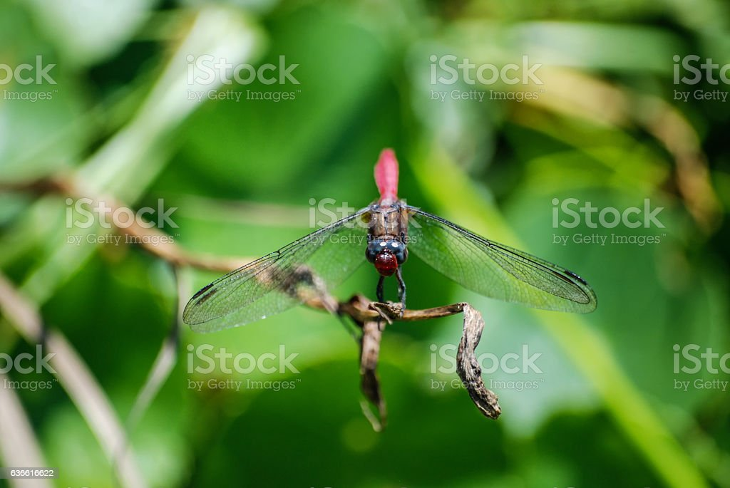 Dragonfly perched on thin branch and looking at camera stock photo