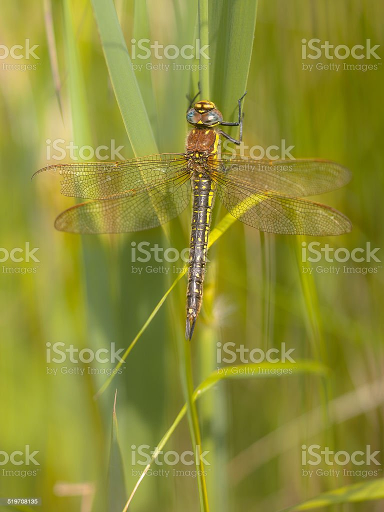 Dragonfly Perching on Plant stock photo