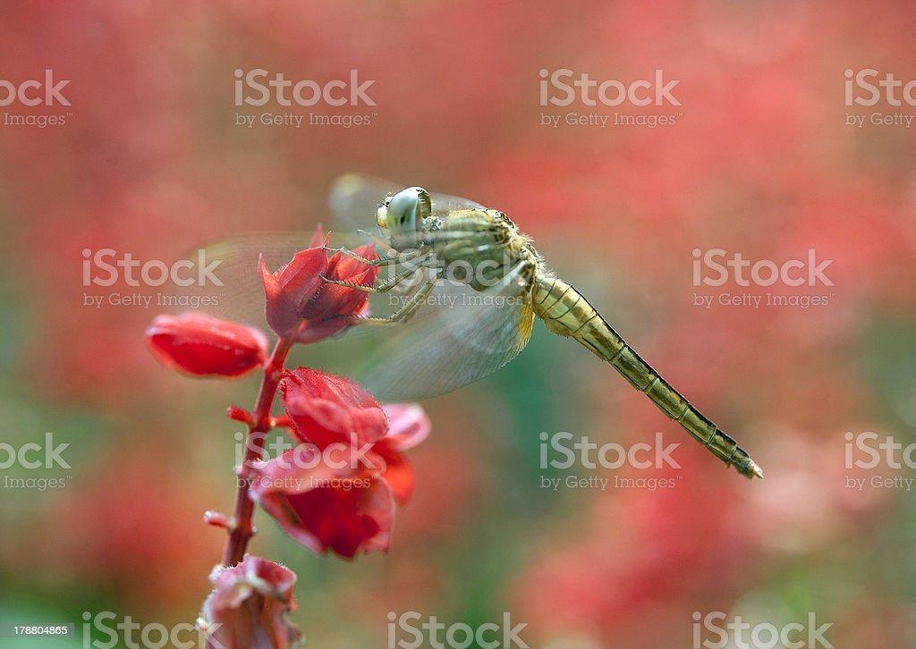 Dragonfly #2 royalty-free stock photo