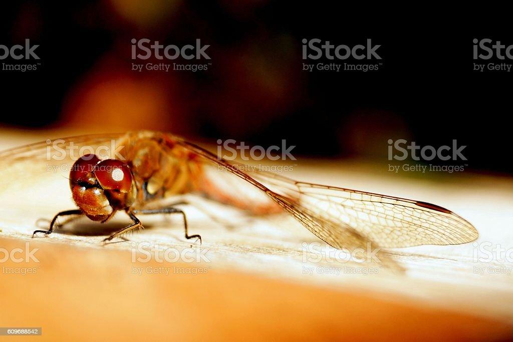 dragon-fly stock photo