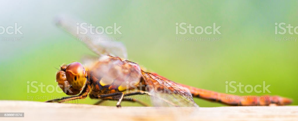 Dragonfly (shallow DOF) stock photo