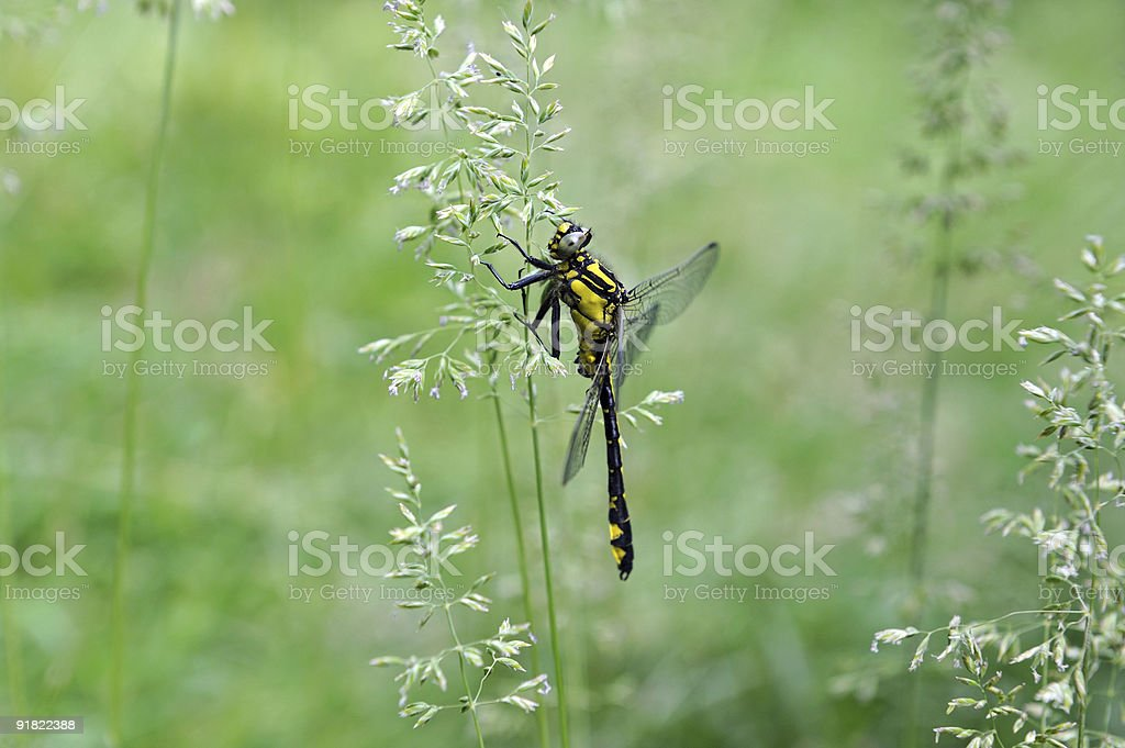 Dragon-fly stock photo