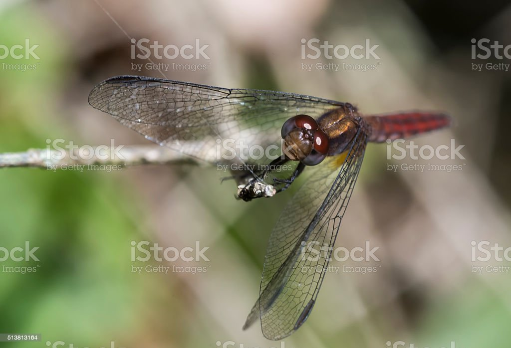 Dragonfly red and golden stock photo