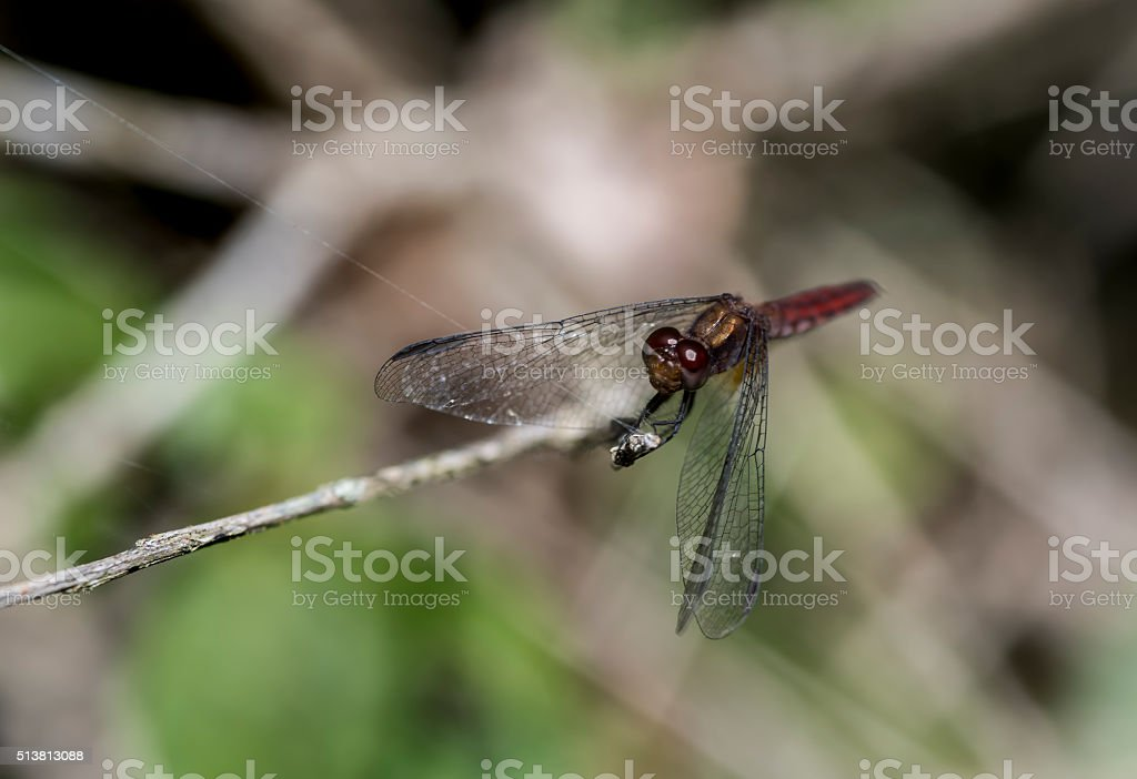 Dragonfly resting its wings stock photo