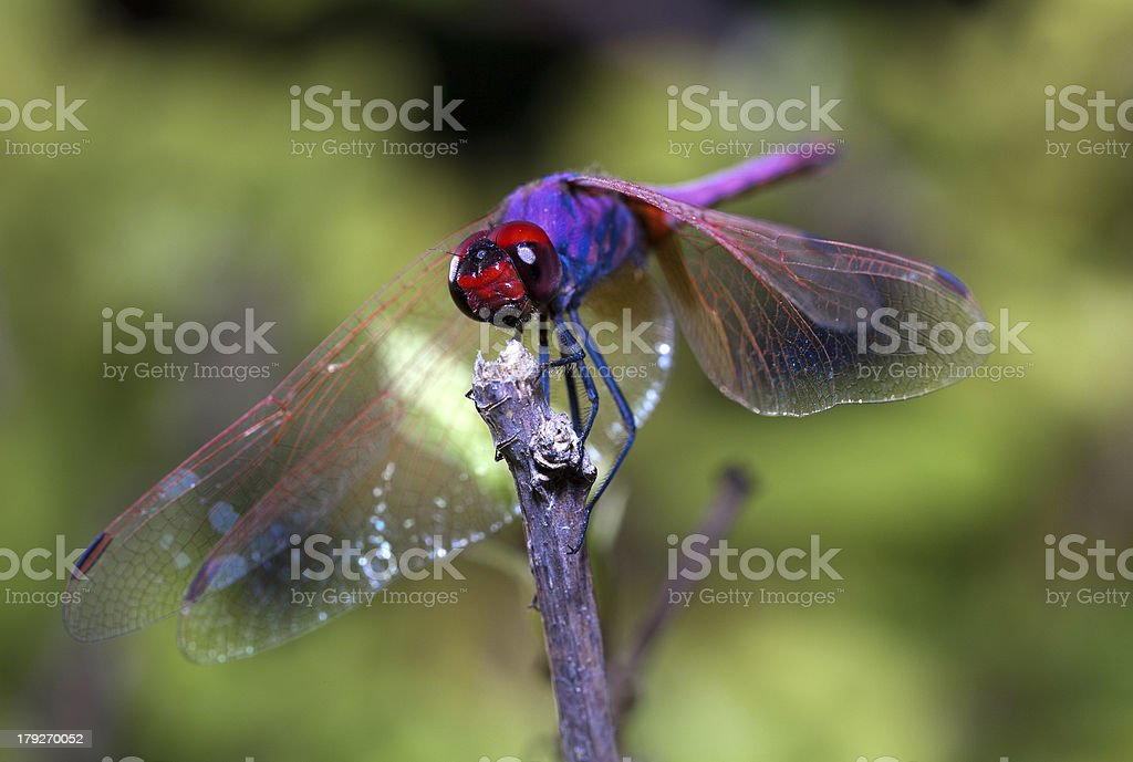 Dragonfly resting on a twig royalty-free stock photo