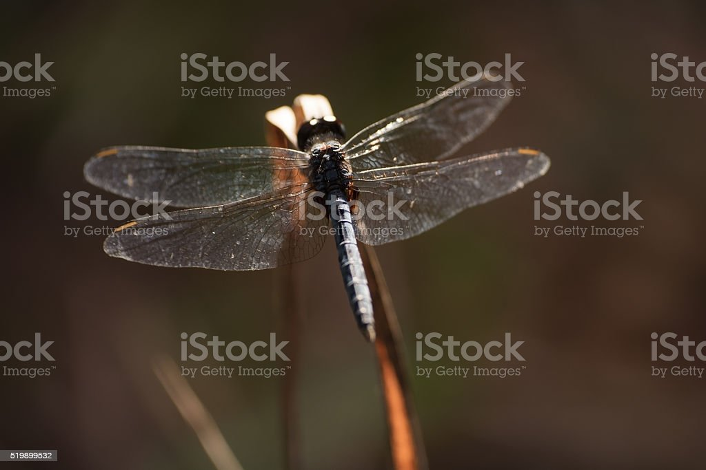 Dragonfly Resting On Plant At Dusk stock photo