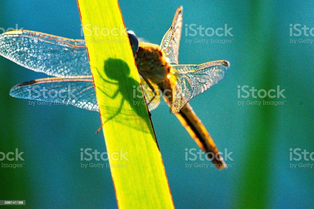 dragonfly shadow stock photo