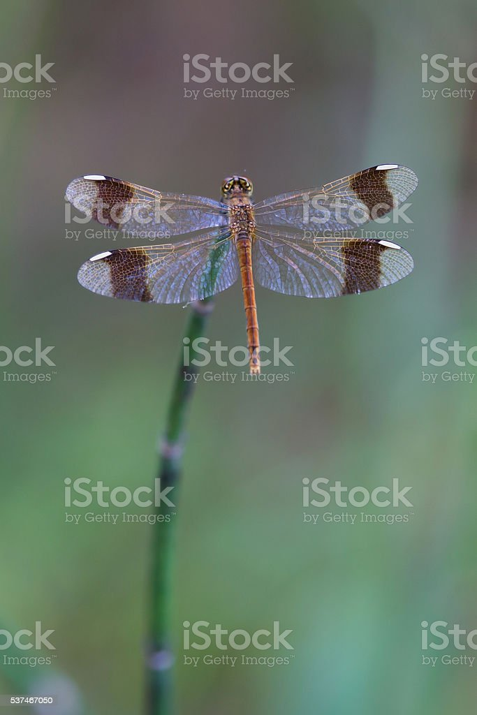 Dragonfly sits on the stem of horsetail stock photo