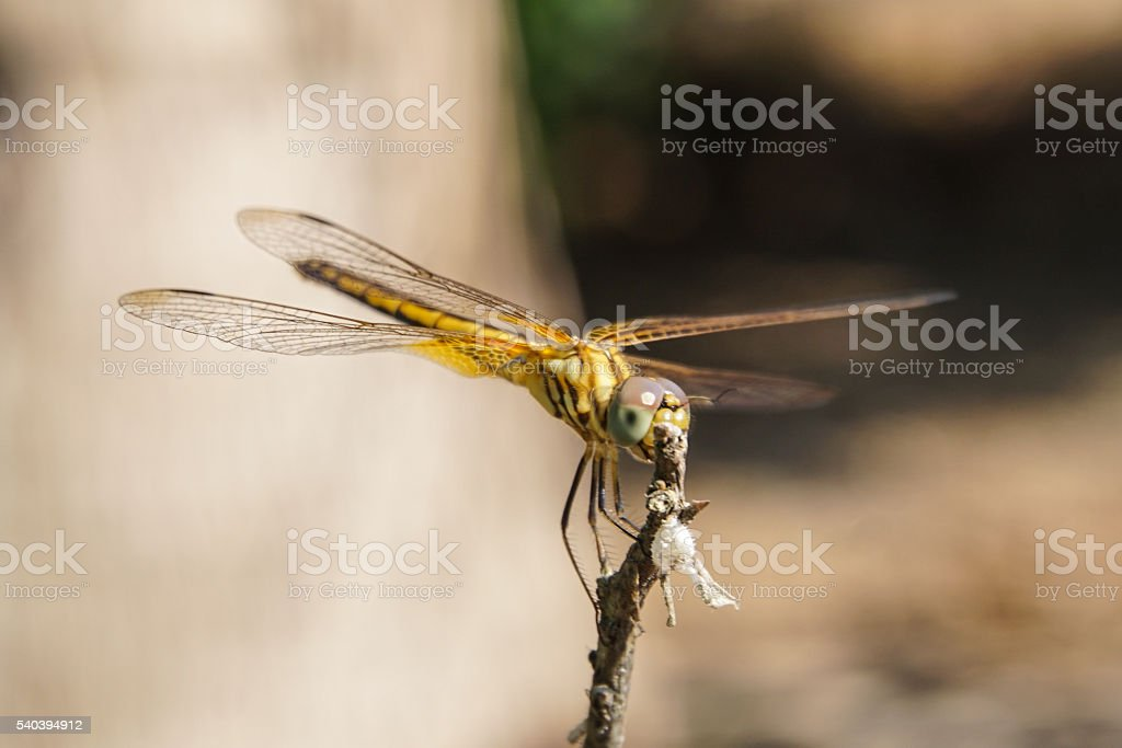 Dragonfly stay on the stick. stock photo