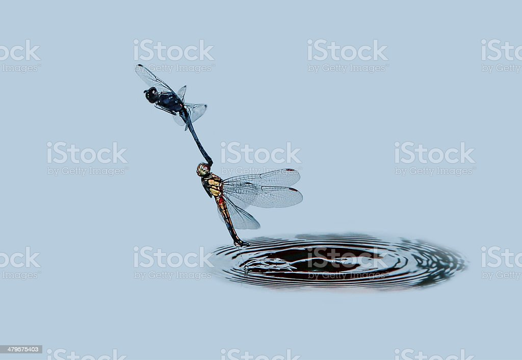 Dragonfly Tandem Position stock photo