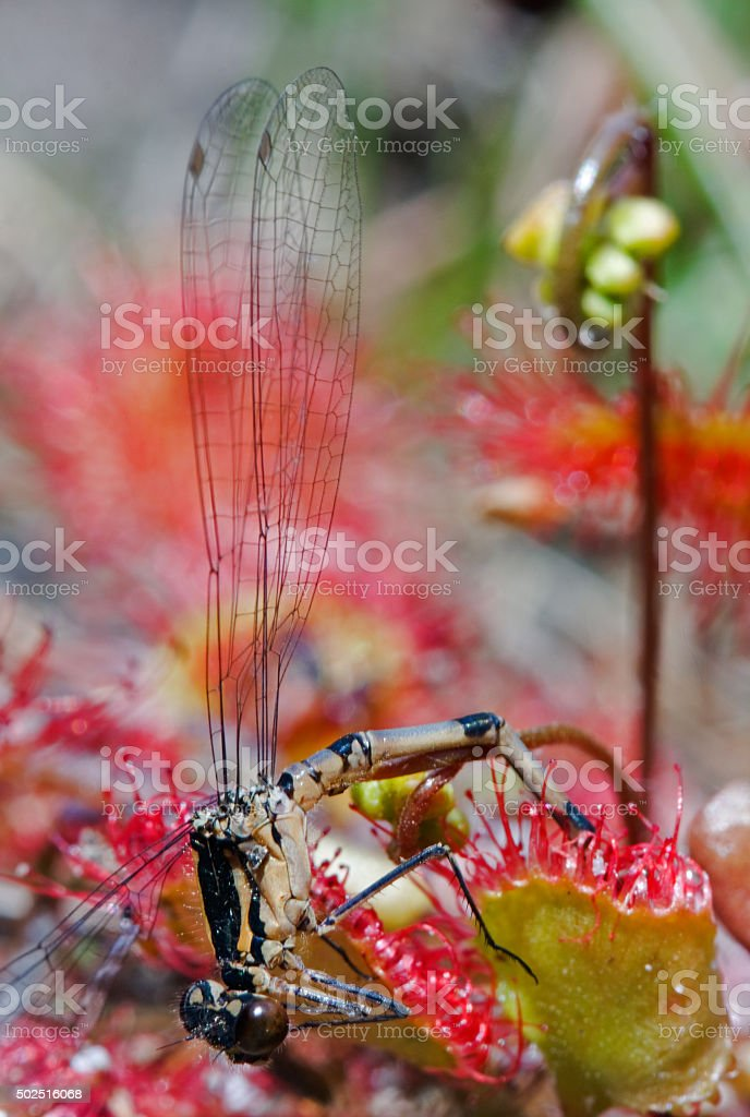 Dragonfly trapped by carnivorous plant stock photo