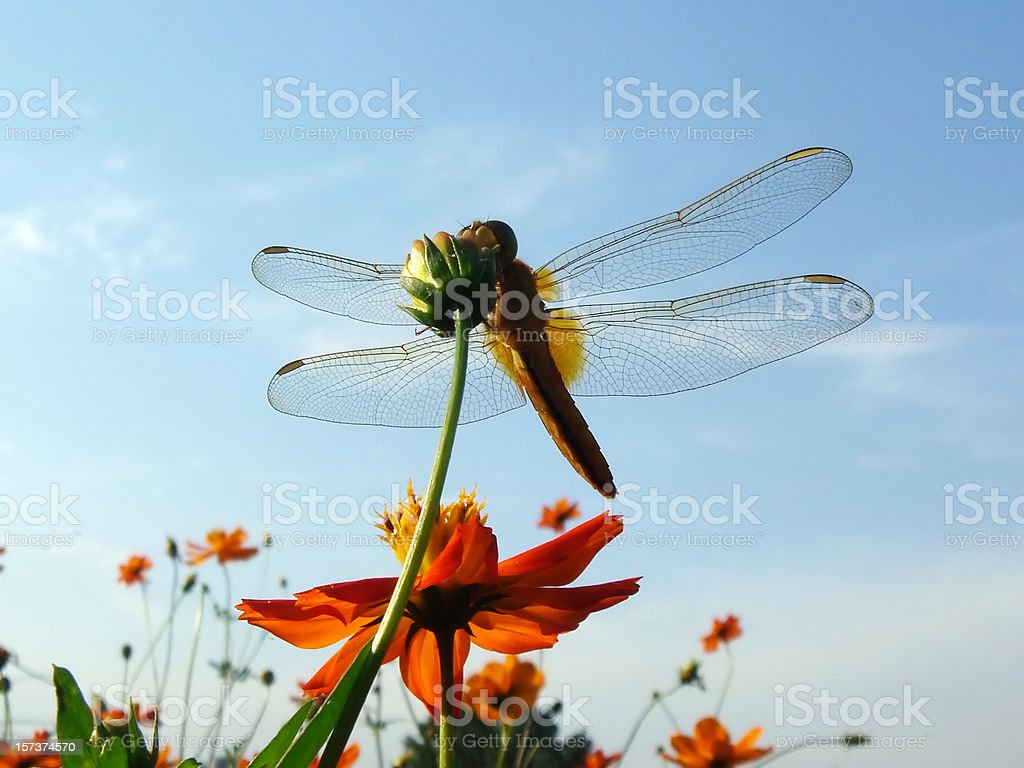 Dragonfly under the blue sky stock photo
