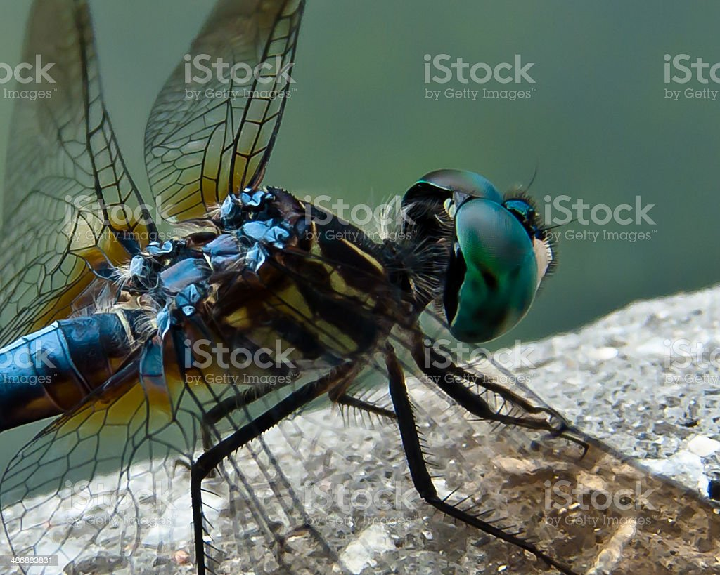 Dragonfly Up Close and Personal royalty-free stock photo