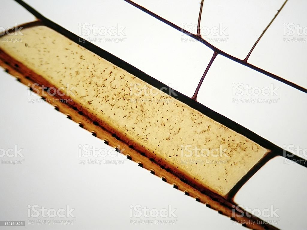 Dragonfly wing under microscope stock photo