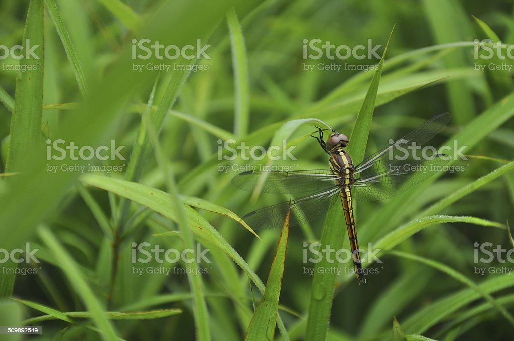 Dragonfly, wings, animals, insects, dragonfly pin, beautiful insects.
