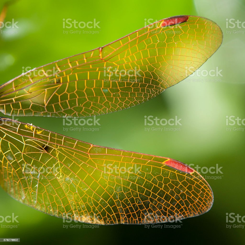 Dragonfly Wings on Green Background stock photo