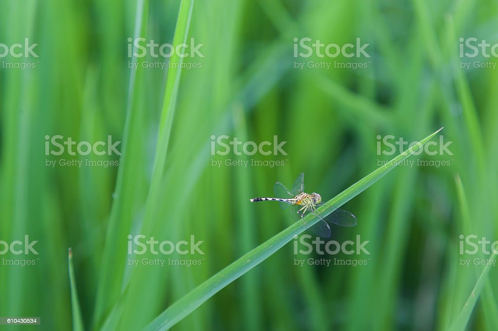dragonfly with green rice raining season in laos stock photo