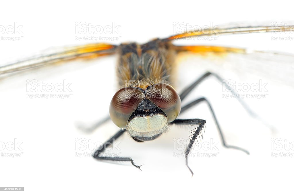Dragonfly with Huge Multifaceted Eyes Macro Isolated on White Background stock photo