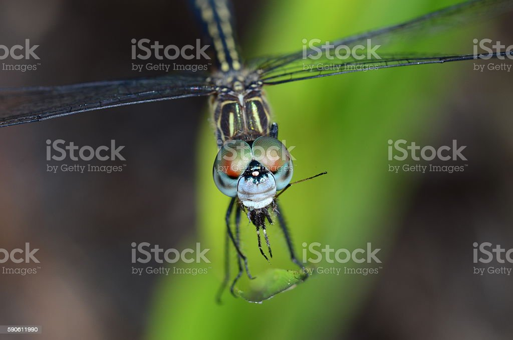 Dragonfly with multi-colred eyes eating a spider stock photo