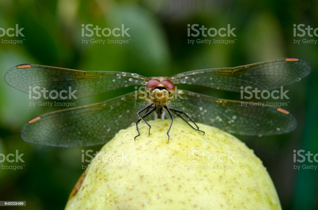Dragonfly with spread wings closeup stock photo