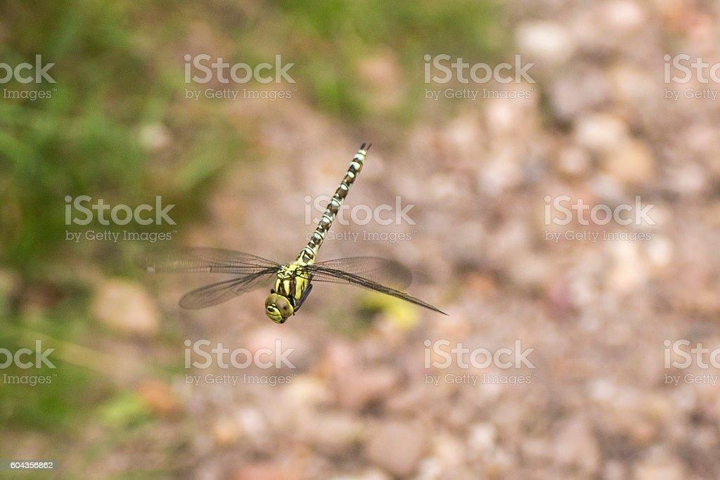 Dragongly stock photo