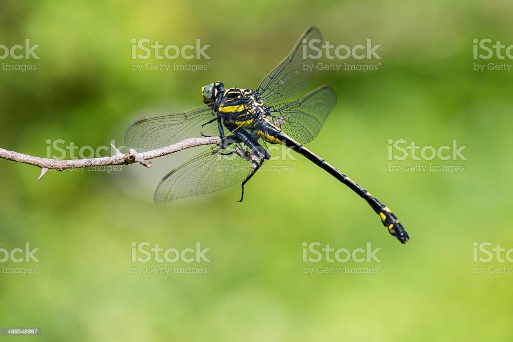 Dragonhunter Dragonfly (Hagenius Brevistylus) royalty-free stock photo