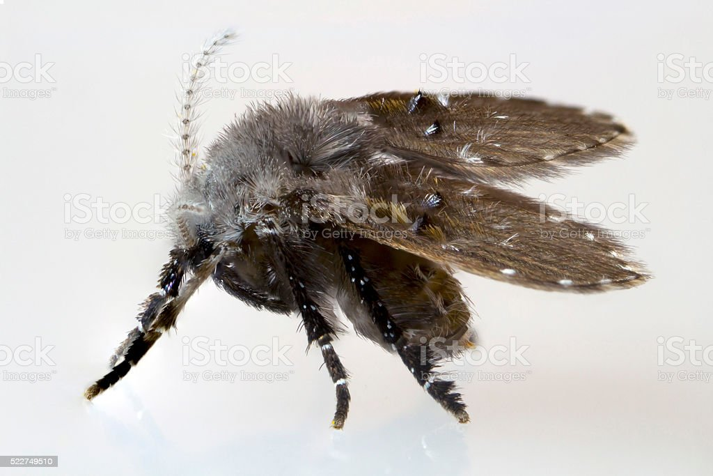 Drain Fly at High Magnification stock photo
